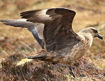 bonxie, aka great skua